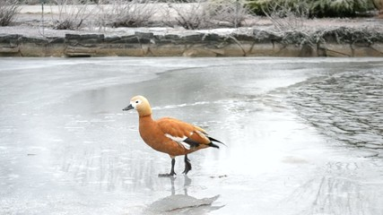 Ruddy shelduck walking on ice of a frozen pond