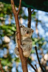Koalas  at Currumbin Wildlife Park, Qld, Australia