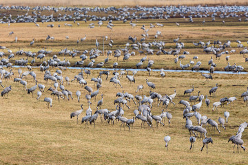 Flock of Cranes on a field at spring