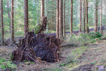 Uprooted tree in forest