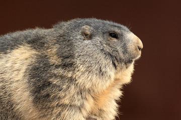 marmotta mammifero roditore