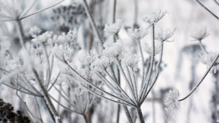Cow parsnip, winter image, close-up