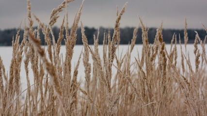 Field of winter wheat