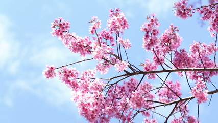 Cherry blossoms flew by the wind