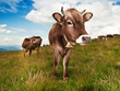 canvas print picture - brown cow