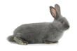 gray rabbit - 76206993