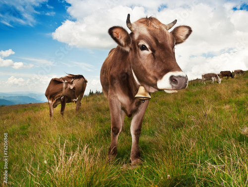 canvas print picture brown cow