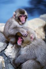 Snow Monkey Siblings