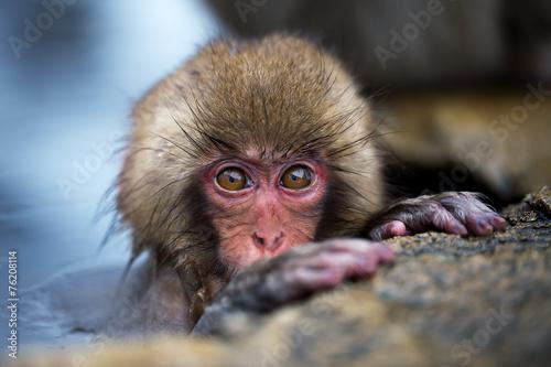 canvas print picture Snow Monkey Baby