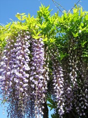 Frühling in voller Blüte - Lago Maggiore - Italien