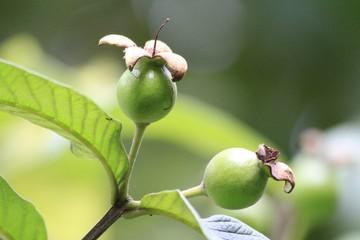 Guava Fruit - Nature