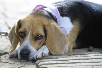 Cute beagle female dog with a bandana