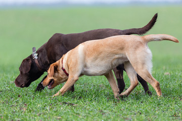 zwei Labrador Retriever auf Spurensuche