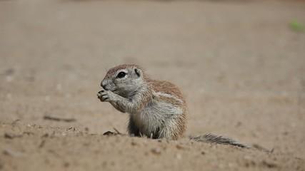 Ground squirrel (Xerus inaurus), Kalahari desert