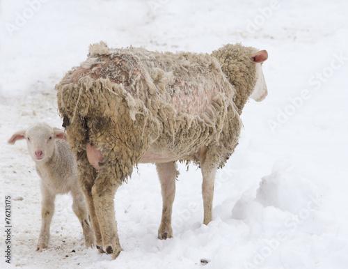 Sheep disease