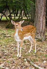 femelle daim dans la forêt