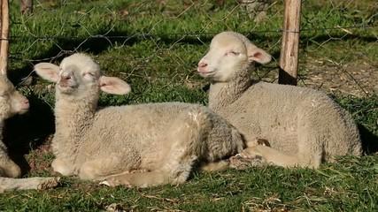 Two small merino sheep lambs resting