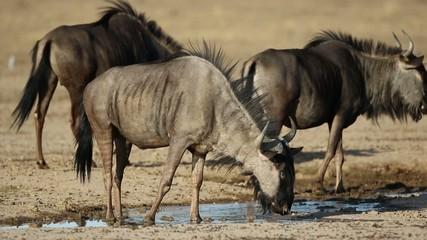 Blue wildebeest drinking water, Kalahari desert