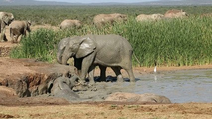 Elephants playing in water, Addo Elephant National Park