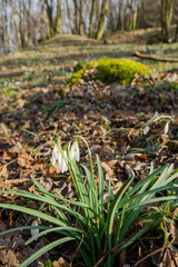 Group of wild flowering snowdrops