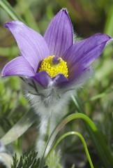 Detail of flowering pasque flower (Pulsatilla)