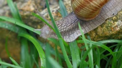 Garden snail is crawling between green grass