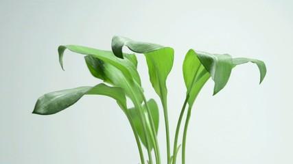 Bärlauch, Wildsalat und Heilpflanze