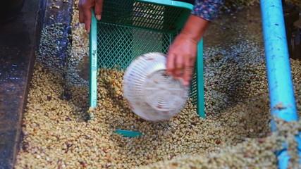 Coffee bean raw plantation