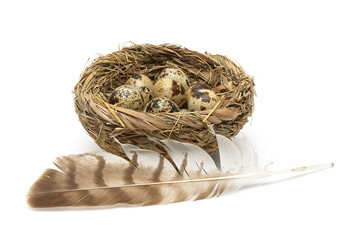 quail eggs in the nest and bird feather isolated on white backgr