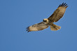 Red-Tailed Hawk Making Eye Contact As It Flys - 76217337