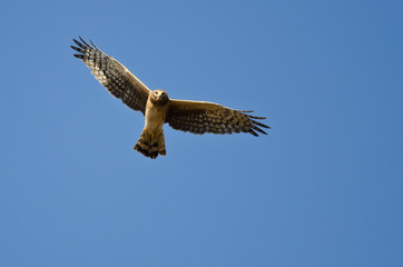 Northern Harrier Making Eye Contact As It Flys