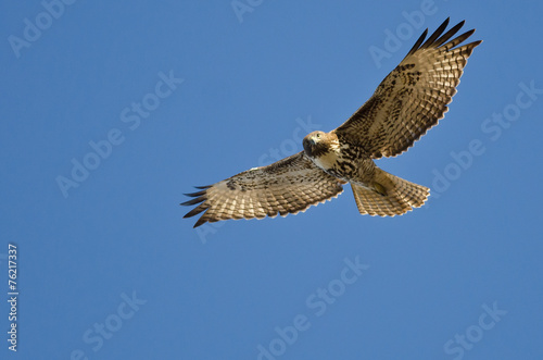 Foto op Canvas Vogel Red-Tailed Hawk Making Eye Contact As It Flys