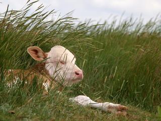 Kälbchen im Gras