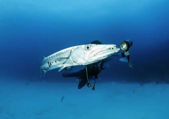 Caribbean Sea, Cuba, diver close to a great Barracuda