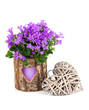 blue campanula flowers for Valentine's Day with wooden heart, on