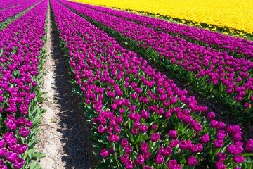 Field view of yellow and purple tulip rows