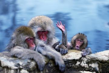 Bathing Snow Monkey Family