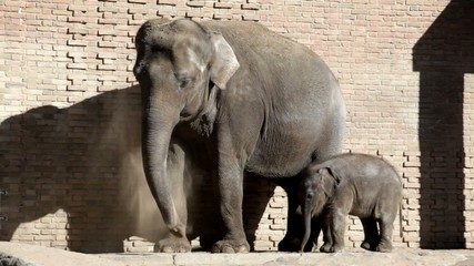 Adult elephant and elephant