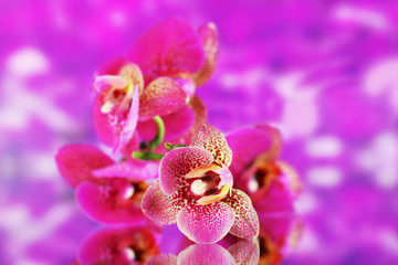 Beautiful orchid on purple background