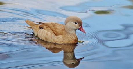 Duck Swimming, Bird, Duck, Blue Water