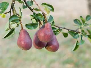 Branch with ripe red pears on a tree