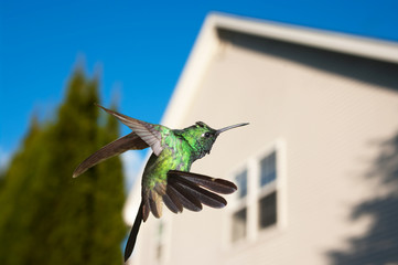 Hummingbird hovering over a house in background, concept of comi