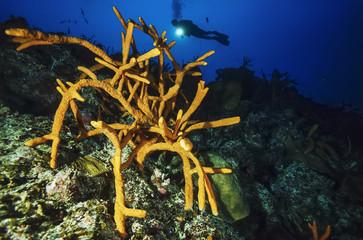 Caribbean Sea, Cuba, diver and Finger Sponges - FILM SCAN