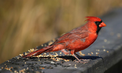 Feeding Cardinal