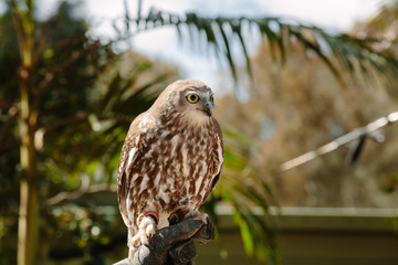 Barking owl at Currumbin Wildlife Park, Qld, Australia