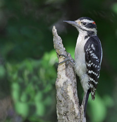 Perched Hairy Woodpecker