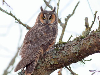 Long-eared Owl Perched on a Branch