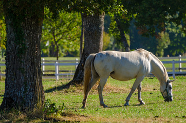Lipizzan horses, Slovenia