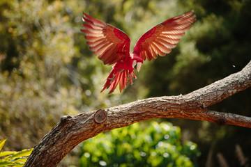 Parrot in flight at Currumbin Wildlife Park, Qld, Australia