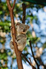 Koala at Currumbin Wildlife Park, Qld, Australia